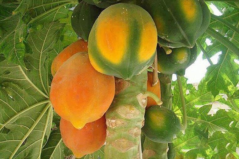 Đu Đủ chín cây rất bổ dưỡng