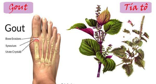 Tía tô chữa bệnh Gout