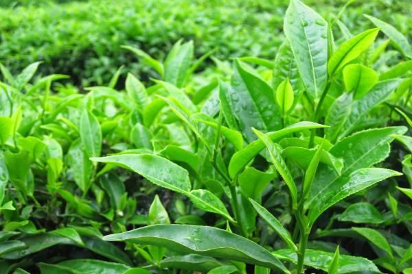 Điều trị sâu răng bằng lá trà xanh