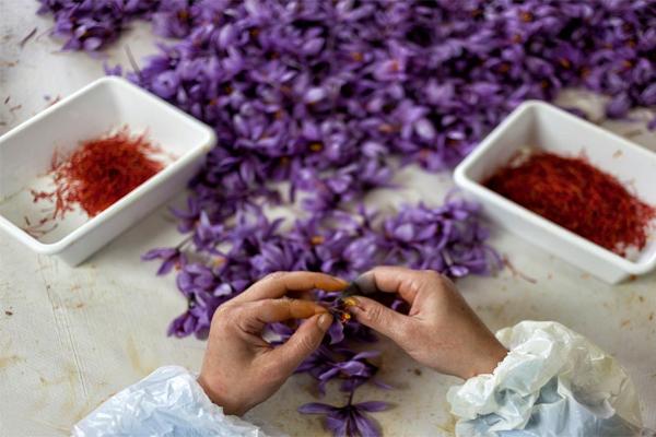 Nhụy hoa nghệ tây trước khi nhập khẩu đều trải qua quá trình chọn lọc thủ công kỹ càng