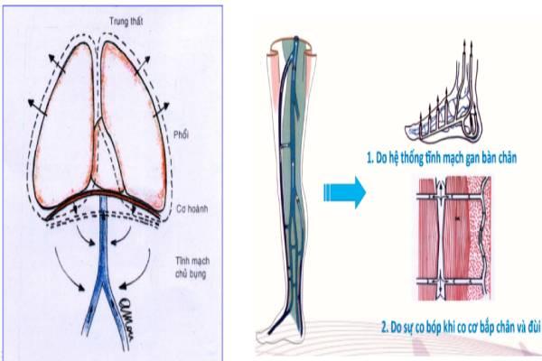 Hệ tĩnh mạch chi dưới đảm bảo nhận máu từ ngoại biên về tim