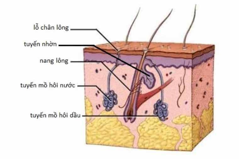 Cấu tạo của chân lông