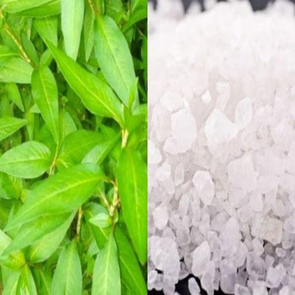 Rau răm kết hợp muối hạt chữa tổ đỉa