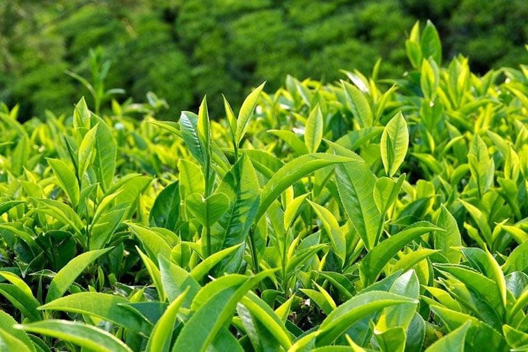Lá trà xanh chữa bệnh chàm tiếp xúc