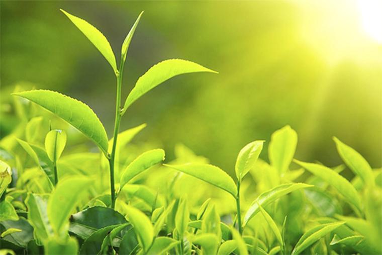 Lá trà xanh chiết xuất từ thiên nhiên nên đặc biệt an toàn, có thể sử dụng được cho cả trẻ nhỏ