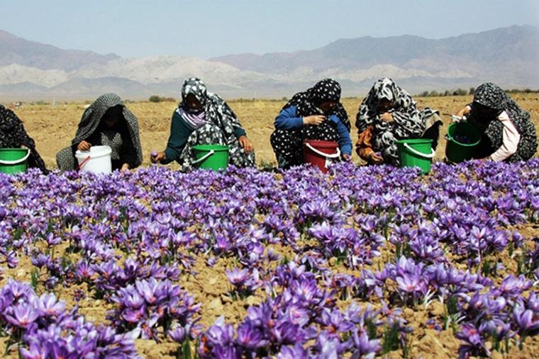 Nhụy hoa nghệ tây được trồng và chế biến chủ yếu ở các nước Tây Á như Iran, Ấn Độ
