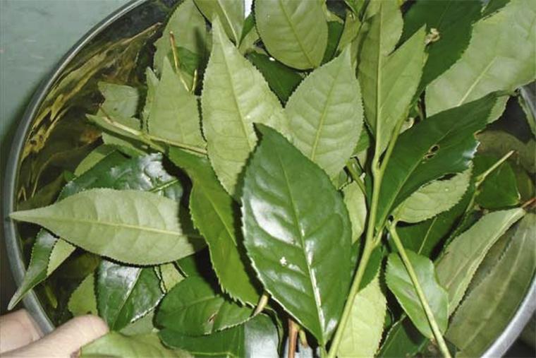 Lá trà xanh có thể kháng viêm, tiêu sưng cho các vết thương ngoài da